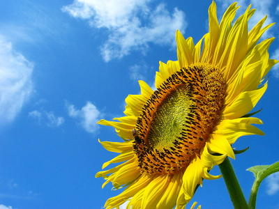 Sunflower_0041