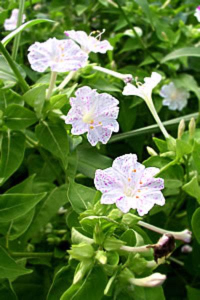 Oshiroibana1
