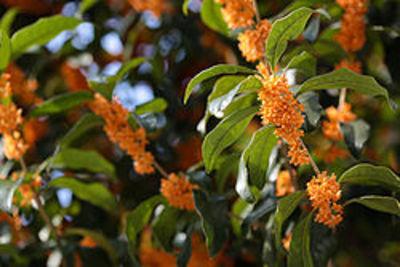 250pxosmanthus_fragrans_orange_flow